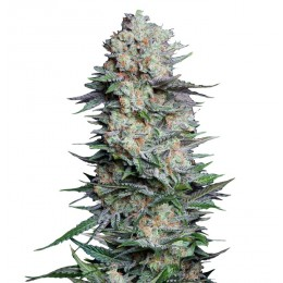 Mexican Airlines Auto Fem