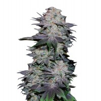 Blackberry Auto Fem