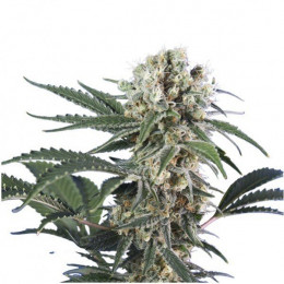 Wonder Black Domina Fem
