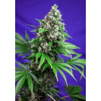 Killer Kush F1 Fast Version Fem